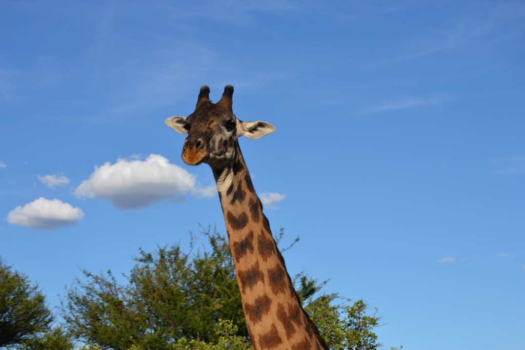 How cute is this giraffe we saw on Safari in Tanzania?! SO CUTEEEEEE xoxo
